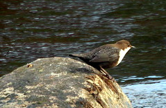 The dipper on the stone