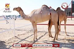 الصور .. منافسات مهرجان قطر الخامس عشر للأصايل (أشواط الجذاع) صباح 23-11-2019