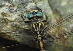 Gomphe à crochets (Onychogomphus uncatus) ♀, Vallée du Dourdon, Le Collet-de-Dèze, Lozère