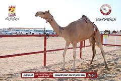 الصور .. منافسات مهرجان قطر الخامس عشر للأصايل (أشواط الجذاع) مساء  23-11-2019