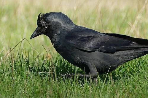 Jackdaw - Kauw - Choucas des Tours - Dohle - Corvus monedula (Corvidae)