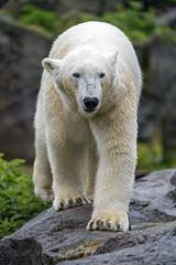Polar bear on the rock