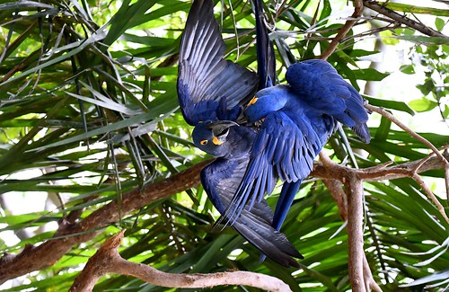 Hyacinth Macaws during a normal bonding session.
