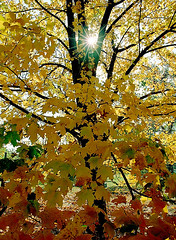"Cincinnati - Spring Grove Cemetery & Arboretum ""Sunburst On Autumn Tree"""