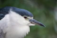 Garça Nocturna (Night Heron)