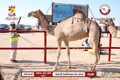 منافسات مهرجان قطر الخامس عشر للأصايل (أشواط اللقايا) صباح  24-11-2019