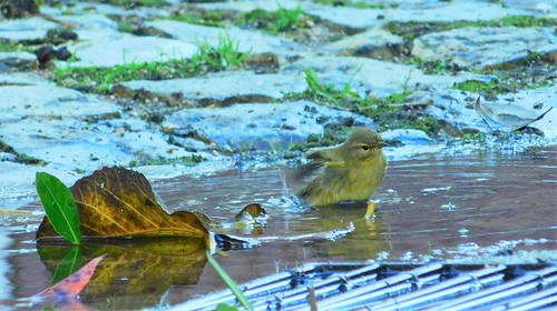 Late bath in a rainwater puddle ... Willow warbler (Felosa-musical)