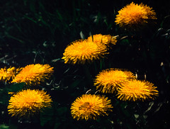 Slide copies Spring flowers April 1991