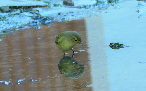 Aiming at the water mirror (is it another bird ...?)  Willow warbler (Felosa-musical)