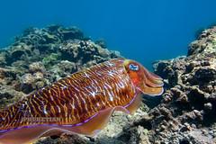 Underwater photo. Cuttlefish