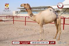 الصور .. منافسات مهرجان قطر الخامس عشر للأصايل (أشواط اللقايا) مساء 24-11-2019