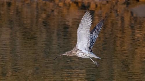 Courlis cendré Numenius arquata - Eurasian Curlew