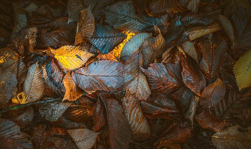 Autumn dry leaves