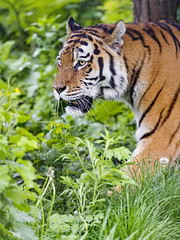 Profile of the tigress in the grass