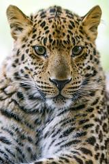 Portrait of a pretty leopard