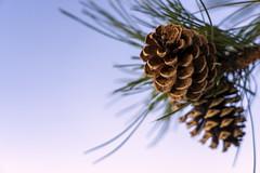 Ponderosa Pine Cone Sunset