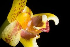 Bulbophyllum pteroglossum Schltr., Repert. Spec. Nov. Regni Veg. Beih. 4: 71 (1919)