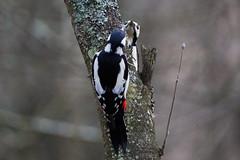 Double woodpecker