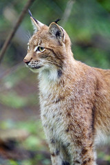 Profile of a posing young lynx