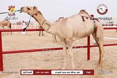 الصور .. منافسات مهرجان قطر الخامس عشر للأصايل (أشواط الحقايق) صباح 25 -11-2019