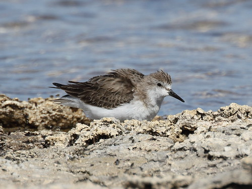 Red-necked Stint at Myalup