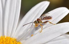 Wasp pollinator in the garden