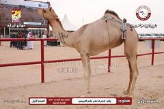 الصور .. منافسات مهرجان قطر الخامس عشر للأصايل (أشواط الحقايق) مساء 25 -11-2019