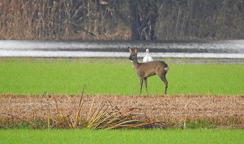 Reh (Wildtier des Jahres 2019 in Deutschland)