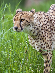 Profile of a cheetah in the grass