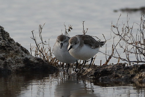 Red-necked Stints at Myalup