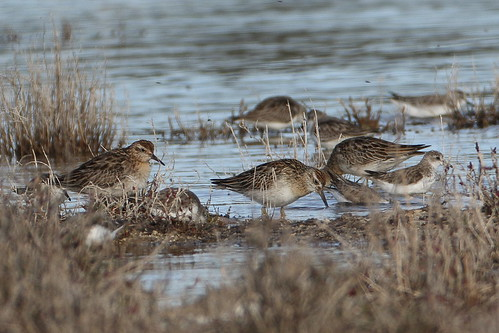 Sharp-tailed Sandpipers at Myalup