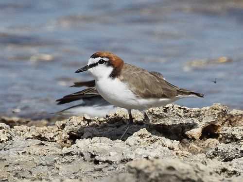 Male Red-capped Plover at Myalup