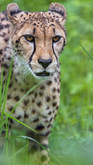 Another one of the cheetah in the grass...