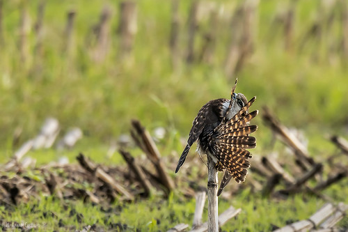 Esmerilhão | Merlin (Falco columbarius)