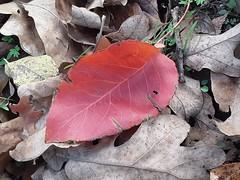 20191125_100214 red leaf
