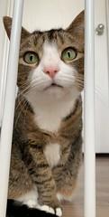 Amelia #cat
