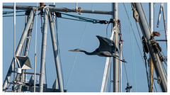 and then that glorious rusty heron squawk
