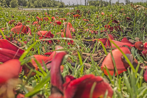 Ceibo flower on the ground