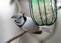 The crested tit,,,,