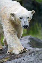 Polar bear walking on the rock