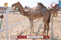 الصور .. منافسات مهرجان قطر الخامس عشر للأصايل (أشواط المفاريد) صباح  26 -11-2019