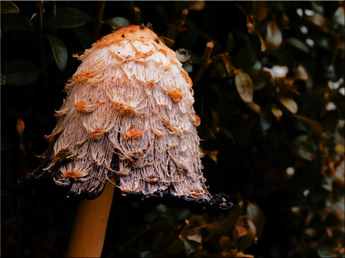 Coprinus comatus - shaggy ink cap, lawyer's wig