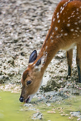 Doe drinking at the pond