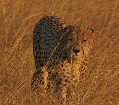 0540e2 cheetah stare