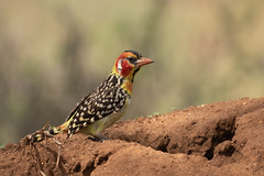 Red and Yellow Barbet