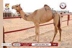 الصور .. منافسات مهرجان قطر الخامس عشر للأصايل (أشواط المفاريد) مساء  26 -11-2019