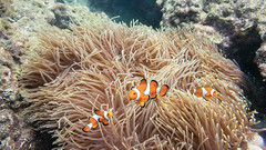 Underwater photo. Phuket Thailand. Coral reef and schools of tropical fish