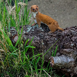 Weasel on the lookout by Derek Dewey-Leader