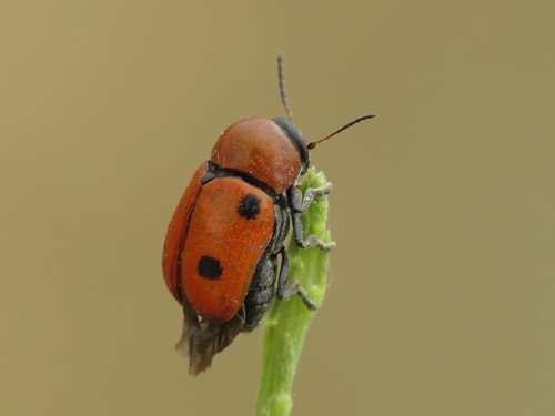 Cryptocephalus pominorum or infirmior (Chrysomelidae - Leaf Beetles)