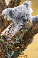 Next koala picture